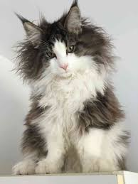 haired cat breeds cat breeds encyclopedia