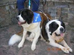 Do Short Haired Saint Bernards Shed by Welcome To Show Case Saints