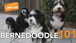 Do F1 Sheepadoodles Shed by Bernedoodle Dogs 101 Is A Bernedoodle Right For You Youtube