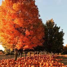 Pumpkin Farm In Maple Park Il gene the pumpkin man 16 photos pumpkin patches 22637 m 43