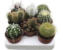 kaktus floraself cactus h 15 20 cm ø 8 5 cm topf zufällige sortenauswahl