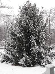 Christmas Tree Farm Lincoln Nebraska by My Tree Gallery The Arbor Day Foundation