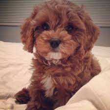 do cavapoos shed a lot best 25 cavapoo puppies ideas on cavapoo dogs