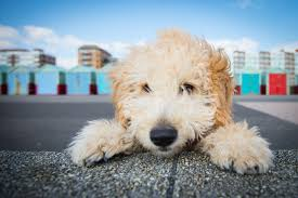 Small Dogs That Dont Shed Uk by Cockapoo Dog Breed Information Pictures Characteristics U0026 Facts