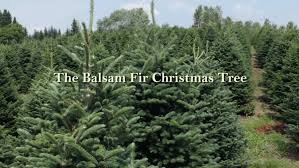 Balsam Fir Tree From Green Valley Christmas Trees