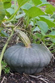 Organic Pumpkin Seeds Australia by 208 Best Melons U0026 Squashes Images On Pinterest Vegetables