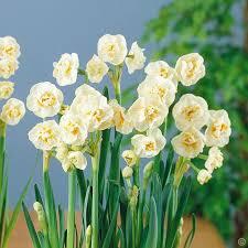 daffodil tazetta bridal crown 10 flower bulbs buy order now