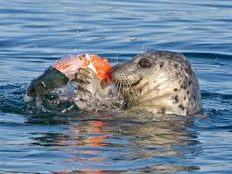 Wicked Tuna Boat Sinks by Study Says Seals Eat More Chinook Than Southern Resident Killer