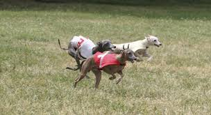 Dogs That Shed Minimally by Scratch Dog Or Not U2013 Are Italian Greyhounds Hypoallergenic