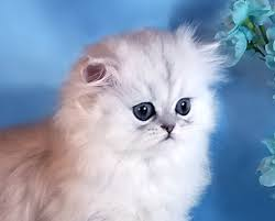 tea cup cat teacup kittens for in pet world tinypersians