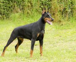 Best Hunting Dogs That Dont Shed by The 25 Best Guard Dogs Guard Dog Breeds For Families