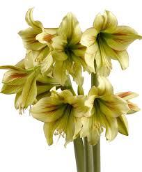 amaryllis graffiti flowering miniature amaryllis