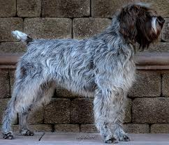 Griffon German Wirehaired Pointer Shedding by Wirehaired Pointing Griffon Alchetron The Free Social Encyclopedia
