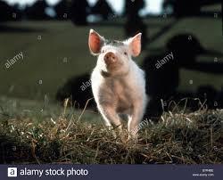 le cochon devenu berger ée 1995 australia usa stock