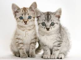 russian cat names russian tabby kitten puppy pictures