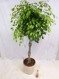 palmenlager ficus benjamini exotica kaufland de