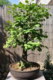 pot bonsai grande taille ginkgo biloba de grande taille le de bonsai design