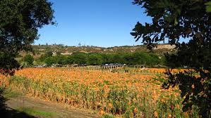 Pumpkin Patch Farm Temecula by Where To Pick A Perfect Pumpkin In San Diego This Fall Nbc 7 San