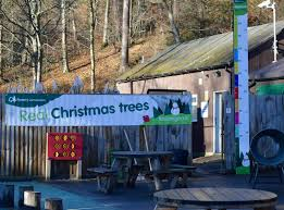 Christmas Tree Saplings For Sale Uk by Why You Should Choose A Real Sustainable Christmas Tree From A
