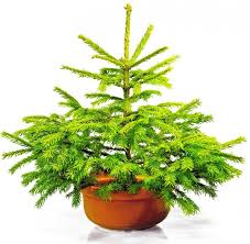 Automatic Christmas Tree Waterer Instructions by Tabletop Christmas Trees The Washington Post