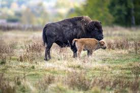 Bison Deck Supports Canada by Bison Herd Sold To Canada More Than 100 Years Ago To Return To