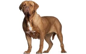 Do Vizsla Dogs Shed by Dogue De Bordeaux Dog Breed Information Pictures Characteristics