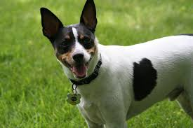 Blue Heeler Mix Shedding by Rat Terrier Info Temperament Care Puppies Pictures