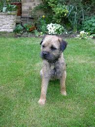brandycarr kennels border terrier breed information