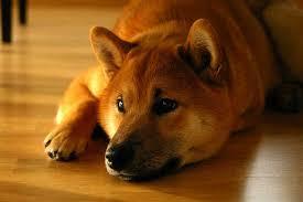 Do Shibas Shed A Lot by Shiba Inu Act Like A Cat Look U0026 Think Like A Fox Ultimate Guide