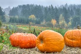North Plains Pumpkin Patch by Pumpkin Patch Fun Living In Portland