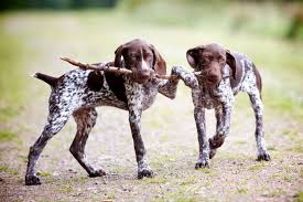 german shorthaired pointer shed 12 reasons why you should never own pointers