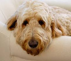 Hypoallergenic Dog Breeds That Dont Shed by Are There Really Hypoallergenic Dogs And Cats