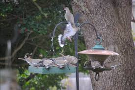 Backyard Birds: A Convention Of White-winged Doves | Millard ... Some Ways To Keep Our Backyard Birds Healthy Birds In The These Upcycled Diy Bird Feeders Are Perfect Addition Your Two American Goldfinches Perch On A Bird Feeder Eating Top 10 Backyard Feeding Mistakes Feeder Young Blue Jay First Time Youtube With Stock Photo Image 15090788 Birdfeeding 101 Lover 6 Tips For Heritage Farm Gardenlong Food Haing From A Tree Gallery13 At Chickadee Gardens Visitors North Andover Ma