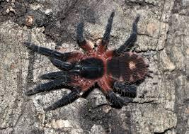 Pumpkin Patch Tarantula For Sale by Theraphosinae Sp Panama 1cm 1 5cm Spidersworld Eu