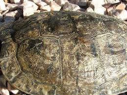 Turtle Shell Not Shedding Properly by Redearslider Com View Topic The Winter Pond For Timmy Not