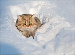 snow cat catsparella snow cat