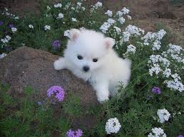 16 best american eskimo dog images on pinterest american eskimo