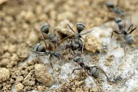 How to rid of ants in your kitchen Dreamhomeinspect