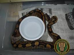 Ball Python Shedding Eating by The Shedding Process