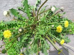 Edible Weeds - Don't Kill The Weeds In Your Yard, Eat Them! Common Garden Weeds This Common Garden Weed Is An Effective Pain Backyard Habitat The Power Of One Writer Page 3 13 Edible And Flowers Hgtv How To Identify Lawn Howtos Diy Foragers Handbook Grow Gather Barter Hunt 101 A Nutritious Free Treat For Your Chickens Worlds Best Photos Ragweed Weeds Flickr Hive Mind Wild Plantain A But Useful Weed T Looks Very My Florida Brighten The Corner Where You Are Plants Darxxidecom Five Healthiest Edibles Throw Canada Day Party Ppare Brittany
