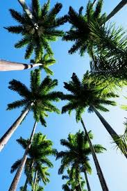 66 Best Palmier Images On Pinterest Palm Trees Nature And Wallpapers Tree Tumblr
