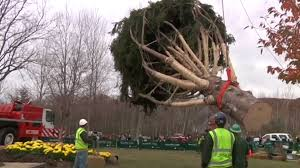 Rockefeller Plaza Christmas Tree Cam by Rockefeller Center Christmas Tree Is Harvested In Pa Nbc News