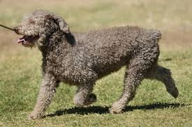 Portuguese Water Dog Non Shedding by 25 Dogs That Don U0027t Shed Non Shedding Dogs Small Large Medium