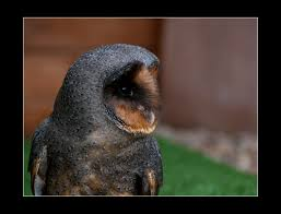 Black Barn Owl | A Black Barn Owl - Roughly 1 In Every 100,0… | Flickr Black Barn Owl Oc Eclipse By Pkhound On Deviantart Closeup Of A Stock Photo 513118776 Istock Birds Of The World Owls This Galapagos Barn Owl Lives With Its Mate A Shelf In The Started Black Paper Today Ref Paul Isolated On Night Stock Photo 296043887 Shutterstock Stu232 Flickr Bird 6961704 Moonlit Buttercups Moth Necklace Background Image 57132270 Sd Falconry Mod Eye Moody