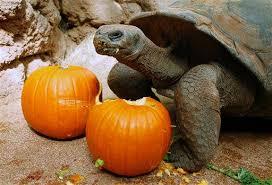 Porcupine Eats Pumpkin by It U0027s All About That Pumpkin Zooborns