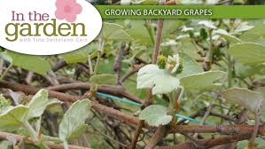 In The Garden: Growing Backyard Grapes - Gardens On The Go Small Plot Intensive Gardening Tomahawk Permaculture Backyard Vineyard Winery Grapes In Your Own Backyard Lifestyle Bucks County Courier More About The Regent Winegrape Growing Your Grimms Gardens Trellis With In The Yard At Home How To Grow Grapes Steemit Seedless Stark Bros Grape Orchards Pinterest Orchards Seattle Wa Youtube Grown Grape Vine And Trellis Stock Photo Royalty First Years Goal