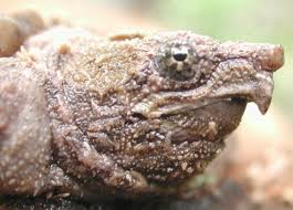 Snapping Turtle Shell Shedding by Did You Hear About The Huge Alligator Snapping Turtle Rescue Whoa