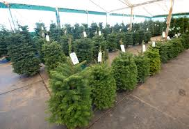 Silver Tip Christmas Tree Los Angeles by Christmas Tree Prices Spiking Statewide Amid Holiday Shortage