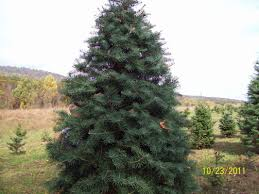 Plantable Christmas Tree Ohio by Wine U0027s Christmas Trees Wine U0027s Christmas Trees Cut Your Own