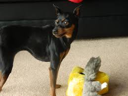 Do Miniature Pinschers Shed A Lot by Reactive Dogs Minpinmoments